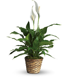 Simply Elegant Spathiphyllum from Westbury Floral Designs in Westbury, NY
