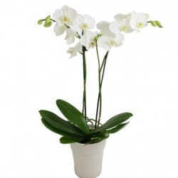 Phalaenopsis Orchid Plant from Westbury Floral Designs in Westbury, NY
